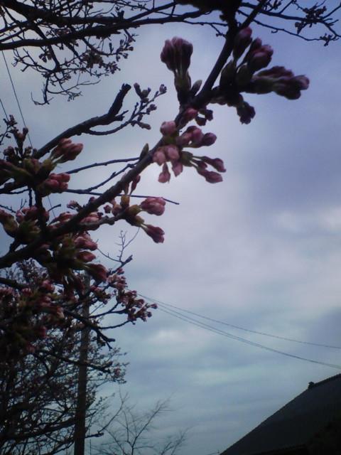 桜の蕾もふくらんで